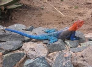 1651__550x400_red-blue-lizard-tarangire-national-park