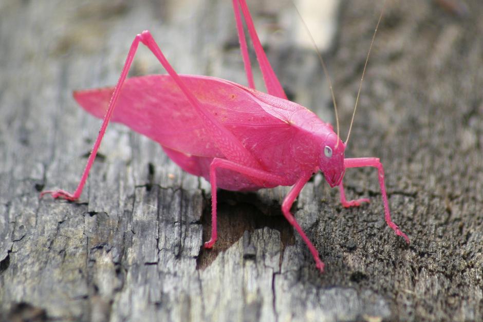 pink-katydid