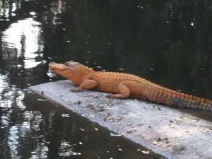 real-orange-gator-large