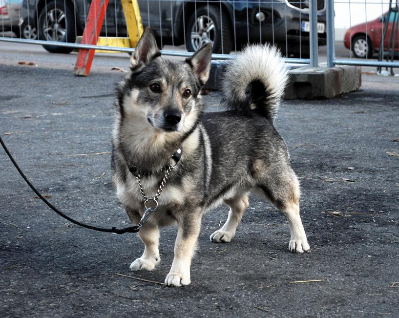 Swedish Vallhund-8.jpg-0