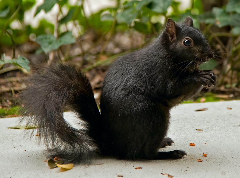 Black_squirrel_in_Santa_Clara_CA