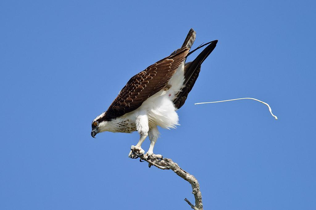 Osprey-Pooping