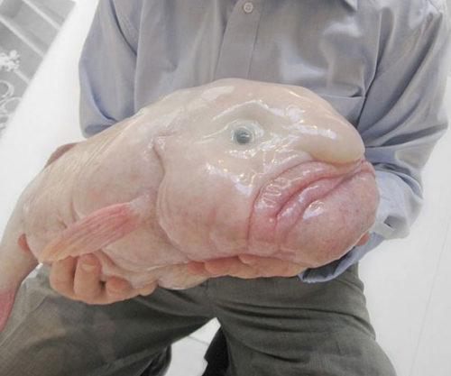 Weird Animal Blobfish