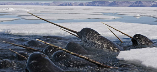 Weird Animal Narwhal