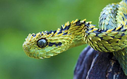 Weird Animal Bush Viper