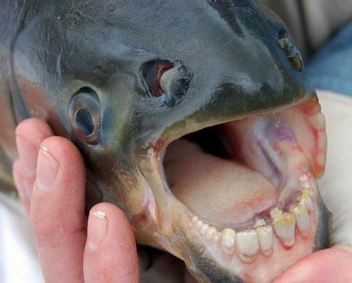 Weird Animal Pacu Fish